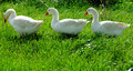 Geese domestic grazing on a meadow Royalty Free Stock Photography