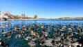 Geese and ducks at Lake Arrowhead Royalty Free Stock Photo
