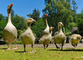 Geese family in spring Royalty Free Stock Photo