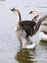 Geese flapping its wings Stock Photos