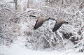 Geese flying after a fresh snowfall pair of canada Stock Photography