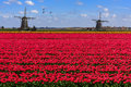 Geese flying over endless red tulip farm Royalty Free Stock Photo