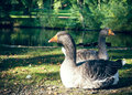 Geese in front of a lake two sitting summer Stock Photo