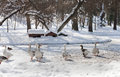 Geese on a frozen lake - RAW format Royalty Free Stock Photography