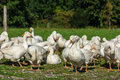 Geese gaggle grazing on green grass farm Royalty Free Stock Image