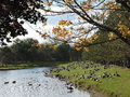 Geese gathering around a pond on a beautiful fall day now that is in full swing and winter is upon us the always gather the water Stock Photo