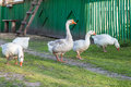 Geese and goose are grazing in the grass Royalty Free Stock Photo