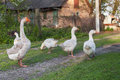 Geese and goose are grazing in the grass Royalty Free Stock Images