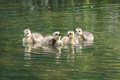 Geese Goslings Swimming in Water Stock Photography