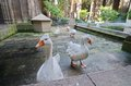 Geese of the Gothic Barcelona Cathedral (Catedral de Barcelona)