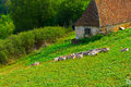 Geese grazing on a hillside in france Royalty Free Stock Photography