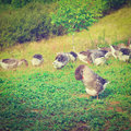 Geese grazing on a hillside in france instagram effect Royalty Free Stock Photography
