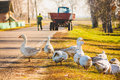 Geese on green grass outdoor Stock Photos