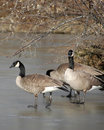 Geese On Ice 2 Royalty Free Stock Photos