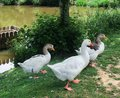 Geese idyllic summertime scenery including some seen in brittany france Royalty Free Stock Photography