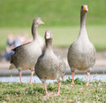 Geese by lake Stock Image
