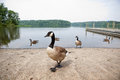 Geese on a lake Stock Photos