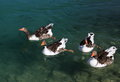 Geese in the lake a group of swimming on Royalty Free Stock Images