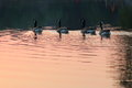 Geese in the lake in sunset. Royalty Free Stock Photo