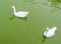 Geese on lake white green Stock Photo