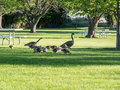 Geese on lawn at park near lake canada families wander through the picnic lawns of a a in eastern washington Stock Photography