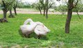 Geese in love moment of hug each other on green grass orchard early spring Stock Images