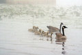 Geese in a misty lake gaggle of swim with their parents michigan the usa Royalty Free Stock Images