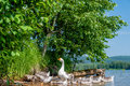 Geese out of the water a flock Royalty Free Stock Image