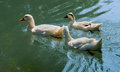 Geese in park creek michigan Stock Images