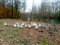 Geese in a park walking Royalty Free Stock Photo