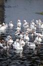 Geese In Romania