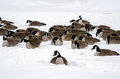 Geese in the snow Royalty Free Stock Photos