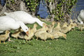Geese with their offspring Royalty Free Stock Photo