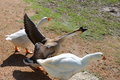 Geese three different running on the ground with one goose s wings opened Royalty Free Stock Images