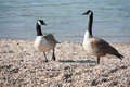 Geese two animals near the rhine mannheim watching a ship Royalty Free Stock Image