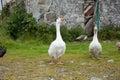 Geese walking tall on isle of arran scotland Stock Photography
