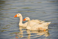 Geese on the water a pair of Royalty Free Stock Photography