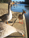 Geese in York, England. Royalty Free Stock Photography