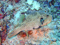 Gekrabbeld pufferfish, de Maldiven Royalty-vrije Stock Foto