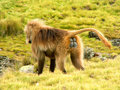 Gelada baboon Stock Photography