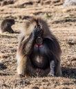 stock image of  Gelada Baboon - Theropithecus Gelada. Simien Mountains National Park in Ethiopia