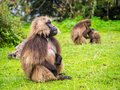 Gelada Theropithecus gelada monkeys in Semien Mountains, Ethio