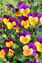 Gelbe purpurrote Pansies Stockbild