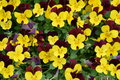 Gelbe und kastanienbraune pansy flowers background Stockfotografie