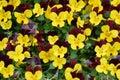 Gelbe und kastanienbraune pansy flowers background Stockfotografie