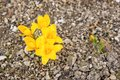 Gele bloem - Krokus (Gele Krokus) Stock Afbeeldingen