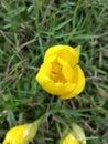 Gele bloem tulp Royalty-vrije Stock Afbeeldingen