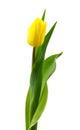 Gele tulp Royalty-vrije Stock Afbeeldingen