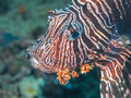 Gemeiner Lionfish, Great Barrier Reef, Australien Stockfotos