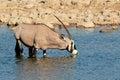Gemsbok antelope drinking oryx gazella water etosha national park namibia Stock Image